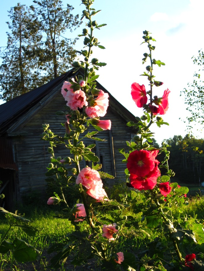 Last year's hollyhocks at the farm.  We have a small number of hollyhock plants available for sale!